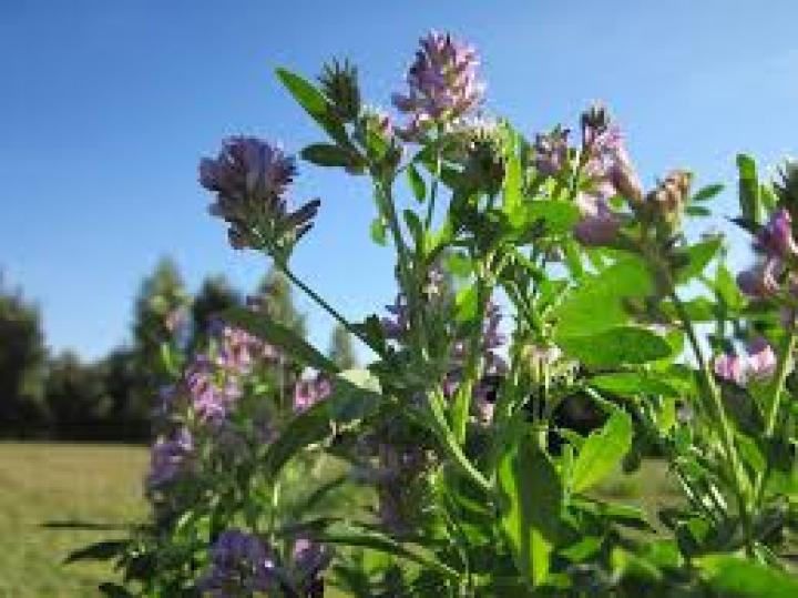 Lucerna (Alfalfa) – trawienie, odchudzanie, oczyszczanie.