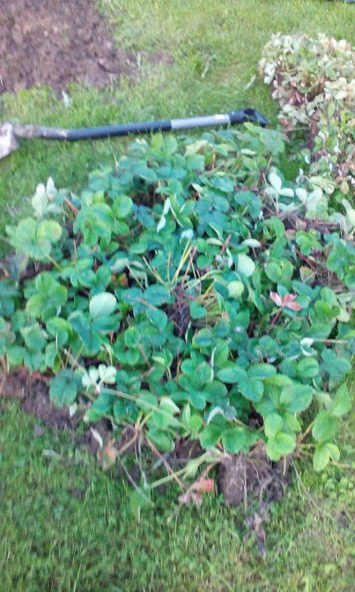 Sadzenie truskawek – folia czy ściółka?