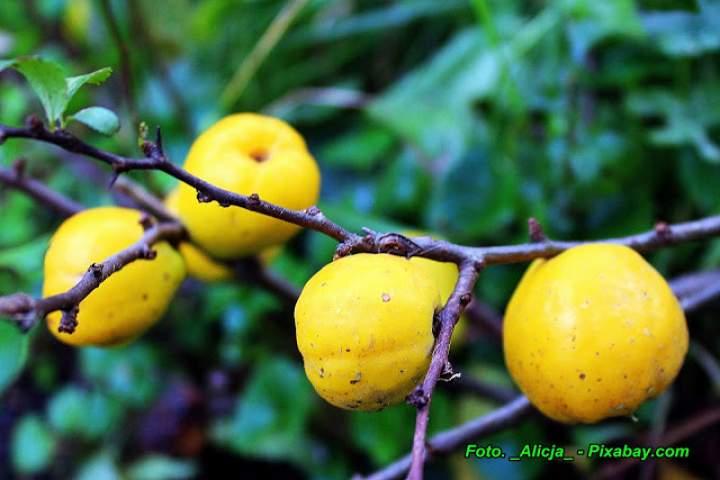 Jak łatwo oderwać owoc pigwowca japońskiego od gałązki.