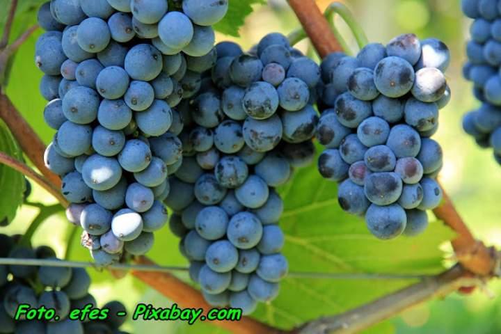 Kiedy zbieramy ciemne winogrono ( na nalewki, soki, wina ).