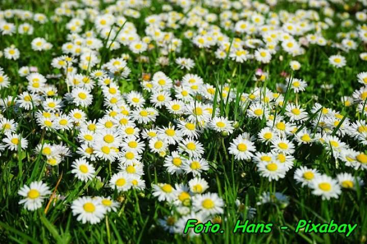 Syrop z kwiatów stokrotki pospolitej (na kaszel, ból gardła).