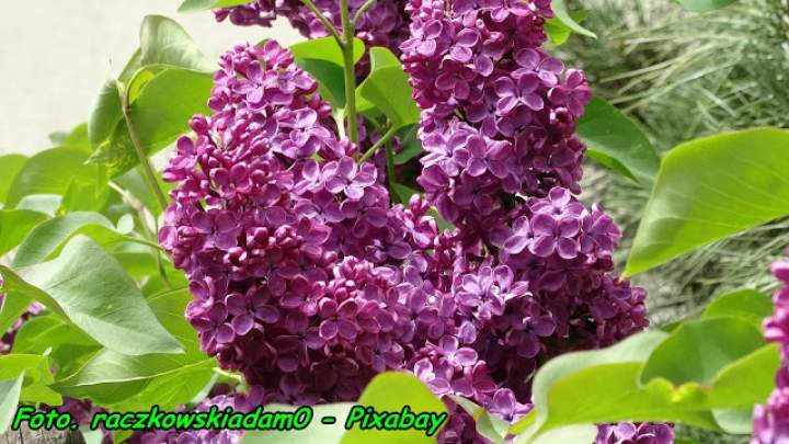 Nalewka na kwiatach bzu – lilaka.