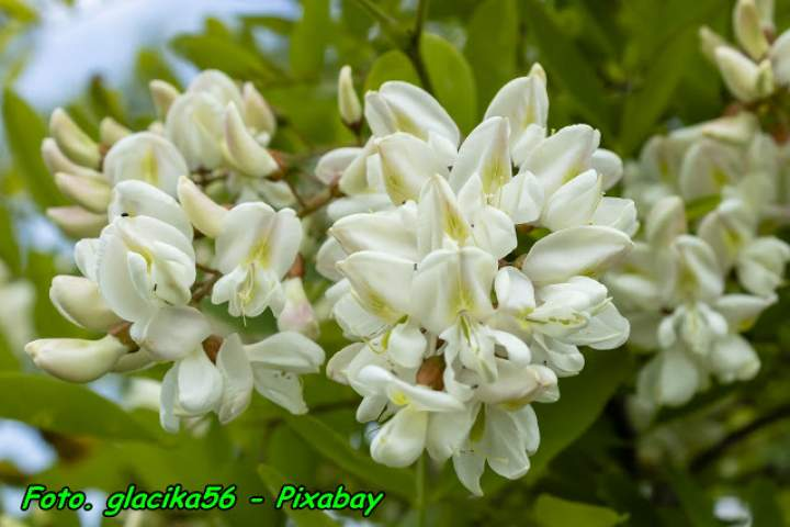 Nalewka na kwiatów akacji [ robinii akacjowej ] ( na miodzie ).