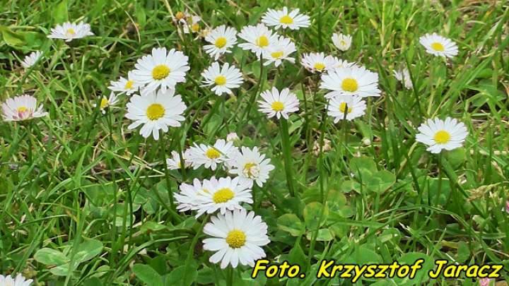 Zdrowotna nalewka z kwiatów stokrotki pospolitej.