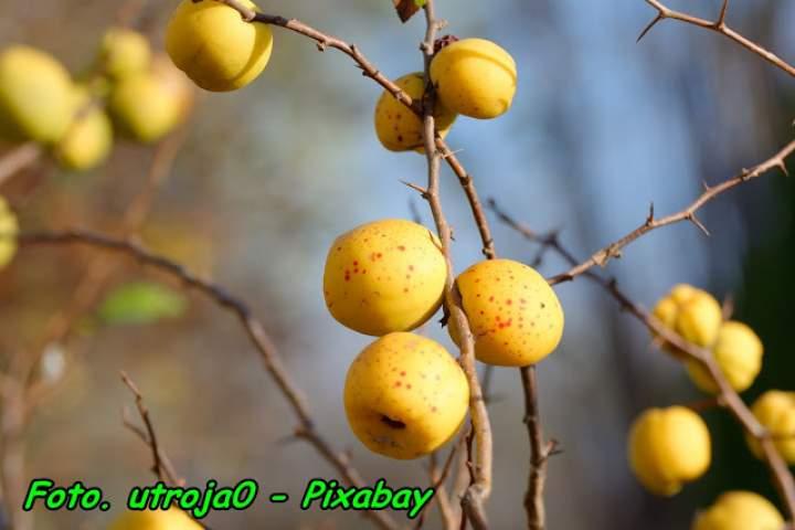 Nalewka z owoców pigwowca ( do herbaty ).