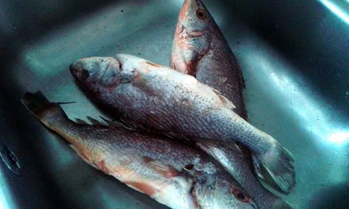 Ryba corvina
