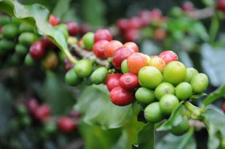 Trzy powody, aby kupić ekologiczną kawę